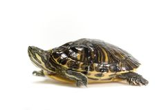 Turtle or tortoise isolated Stock Images