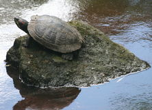 Turtle (Tortoise) on a rock in the middle of water. This picture shows you a turtle (tortoise) sitting on a hard rock, in the middle of water. You can also see Royalty Free Stock Photo