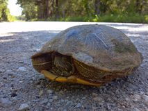 Turtle tortoise. Shell scared race royalty free stock photo