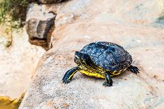 Turtle or tortoise Royalty Free Stock Images