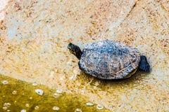 Turtle or tortoise on stone shore Stock Photo