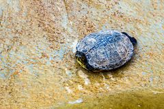 Turtle or tortoise on stone shore Royalty Free Stock Photography