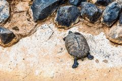 Turtle or tortoise on stone shore Royalty Free Stock Images