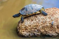 Turtle or tortoise Royalty Free Stock Photos