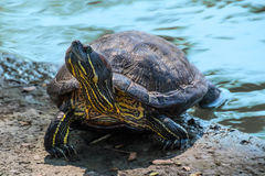 Turtle tortoise taking a bath in the sun stock photography