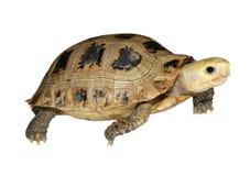 Turtle tortoise walking. On white background Stock Photography