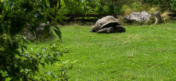 Turtle tortoises shell on green grass Stock Photos