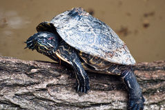 Turtle (Trachemys scripta elegans) Stock Photo