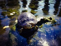 Close up of a turtle Trachemys sunbathing in a pond on a rock. royalty free stock image