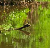 Turtle on Tree Branch in River at Horton Slough. River view at Horton Slough with turtle sitting on a tree branch in the river. The red-eared slider Trachemys Stock Photography