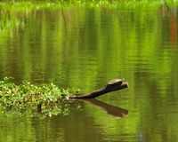 Turtle on Tree Branch in River at Horton Slough. River view at Horton Slough with turtle sitting on a tree branch in the river. The red-eared slider Trachemys Stock Photo