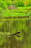 Turtle on Tree Branch in River at Horton Slough. River view at Horton Slough with turtle sitting on a tree branch in the river. The red-eared slider Trachemys Stock Photos