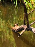 Turtle on Tree Branch in River at Horton Slough. River view at Horton Slough with turtle sitting on a tree branch in the river. The red-eared slider Trachemys Stock Image
