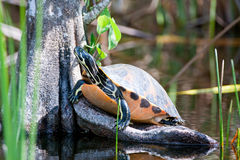 Turtle on tree stump. A turtle outside sunning himself on a tree stump Royalty Free Stock Photography