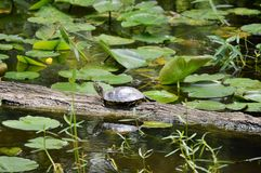 Turtle on a tree stump Royalty Free Stock Images