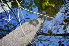 An turtle in tree trunk Stock Photos