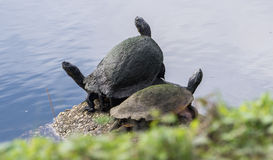Turtle trio, three turtles sunning themselves Stock Photos