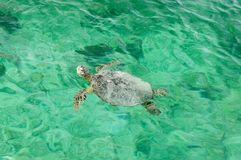 Turtle in turquoise water Royalty Free Stock Image
