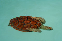 Turtle in turquoise water Royalty Free Stock Photo