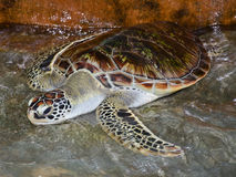 Turtle at Turtle Farm Royalty Free Stock Images