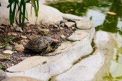 Lonely turtle. In pool and water Stock Images