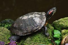 Turtle. Stock Image
