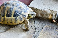 Turtle. Walking on a stones in a garden royalty free stock photos