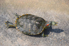 The turtle Royalty Free Stock Images
