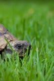 Turtle Royalty Free Stock Photo