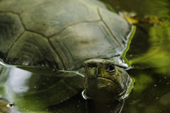Turtle. This turtles play in pond. Almost all types of turtles can swim. They belong to the species of reptiles which are cold-blooded animals Stock Image