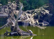 Turtle under a tree in the swamp. A Turtle under a dead tree in the swamp Royalty Free Stock Photo
