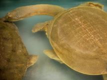 Turtle under water. Wet turtle under water, in shop in China Royalty Free Stock Images