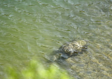 A turtle under the water in Ramganga river Royalty Free Stock Images