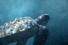 Turtle underwater. Turtle swimming underwater Stock Photo