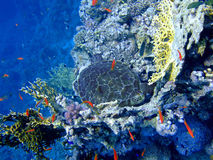 Turtle underwater. Underwater landscape with turtle and many small fish. The Red Sea stock photos