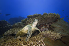 Turtle underwater Stock Photography