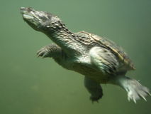Turtle Underwater. An underwater shot of turtle swimming royalty free stock photo