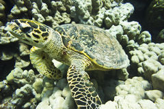 Turtle underwater Royalty Free Stock Image