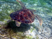 Turtle. Underwater in Gili Trawangan of Lombok,Indonesia Royalty Free Stock Photography
