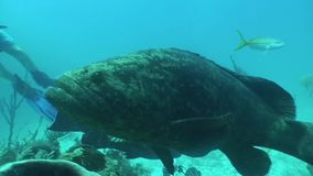 Turtle Underwater life diving Video Cuba Caribbean Sea. Underwater Cuba Caribbean sea safari diving video stock footage