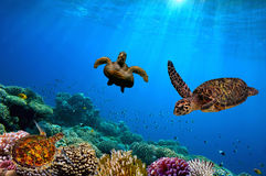 Turtle underwater. Red sea. Egypt Royalty Free Stock Photo