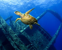 Turtle underwater while SCUBA diving at Giannis D Royalty Free Stock Images