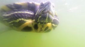 Turtle underwater. A sea turtle swimming in the water stock video