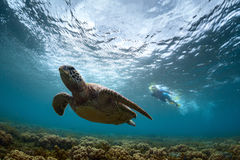 Turtle. Underwater shot of the snorkeler watching sea turtle. Focus on the snorkeler Royalty Free Stock Images