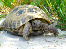 Turtle. In the Vakhsh valley Royalty Free Stock Images