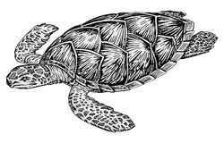 Turtle vector. Vector illustration of big turtle Stock Image
