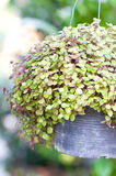 Turtle Vine Plant. Stock Photography