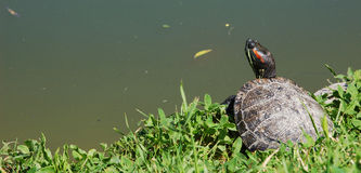 Turtle waiting Royalty Free Stock Image