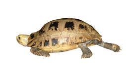 Turtle walking Royalty Free Stock Image