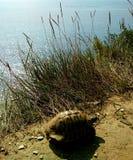 Turtle walking by the Adriatic sea, Albania royalty free stock photos